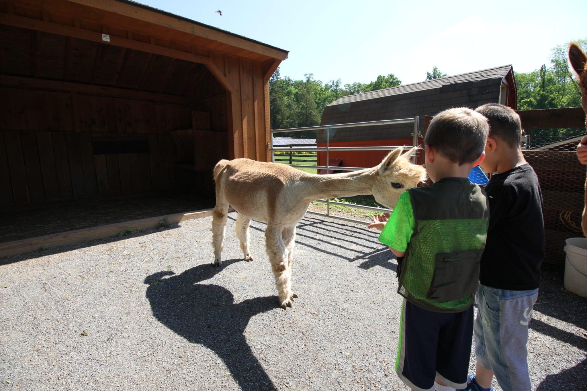 Farm Animal Experience_Alpaca_Children_Summer