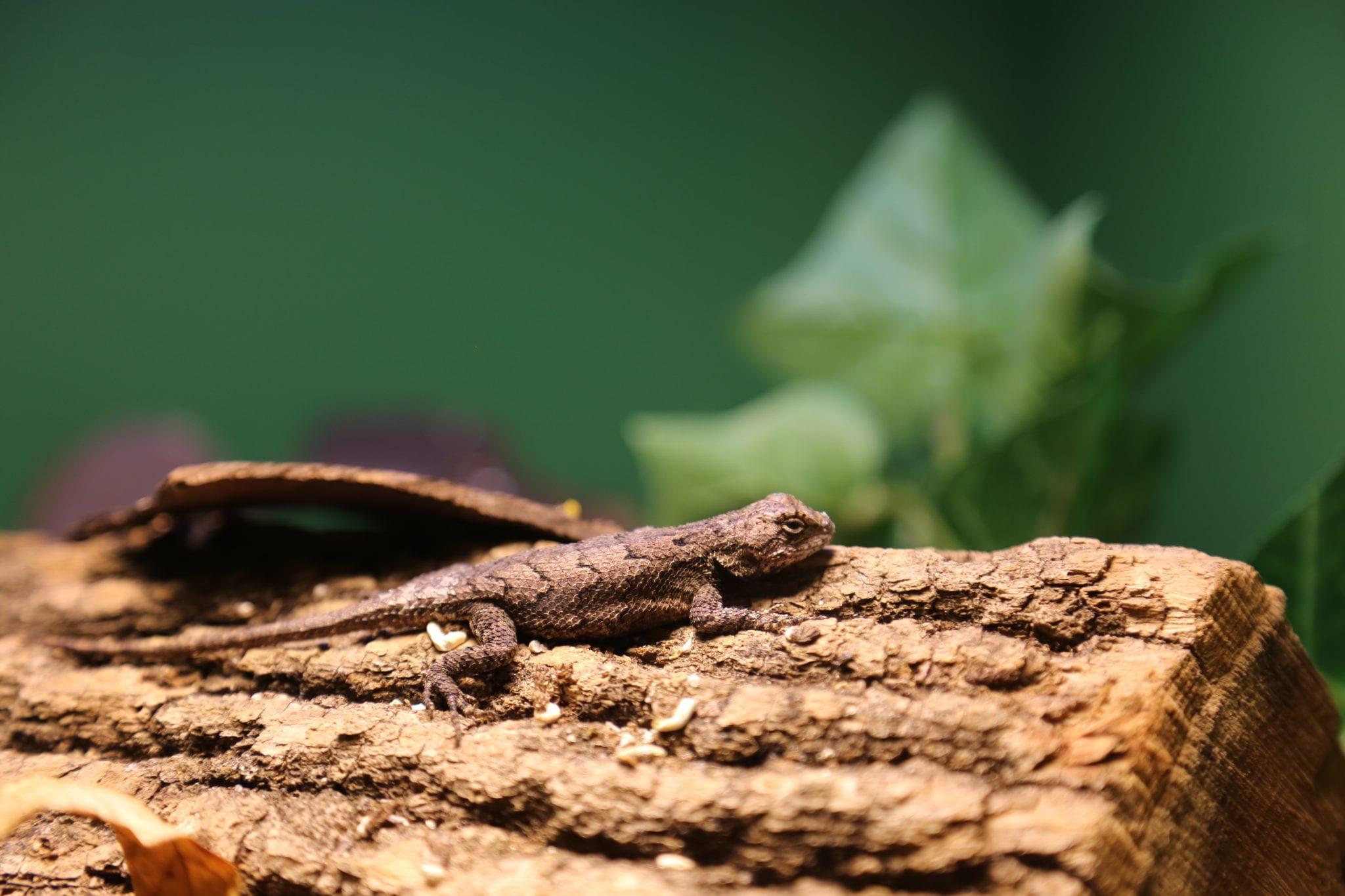 Fence Lizard_Nature Center