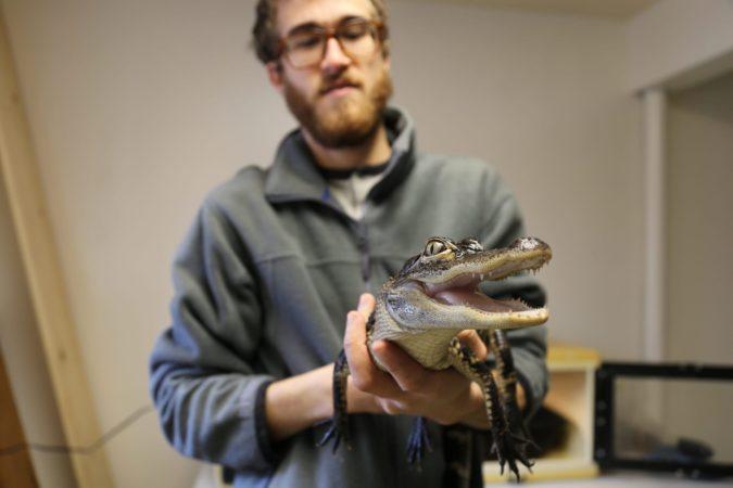 Alligator in Our Nature Center
