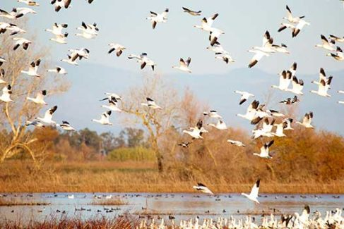 Snow Geese in the Spring