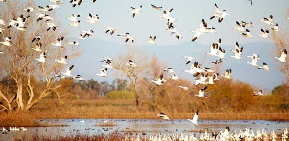 Snow Geese Lancaster County Pa