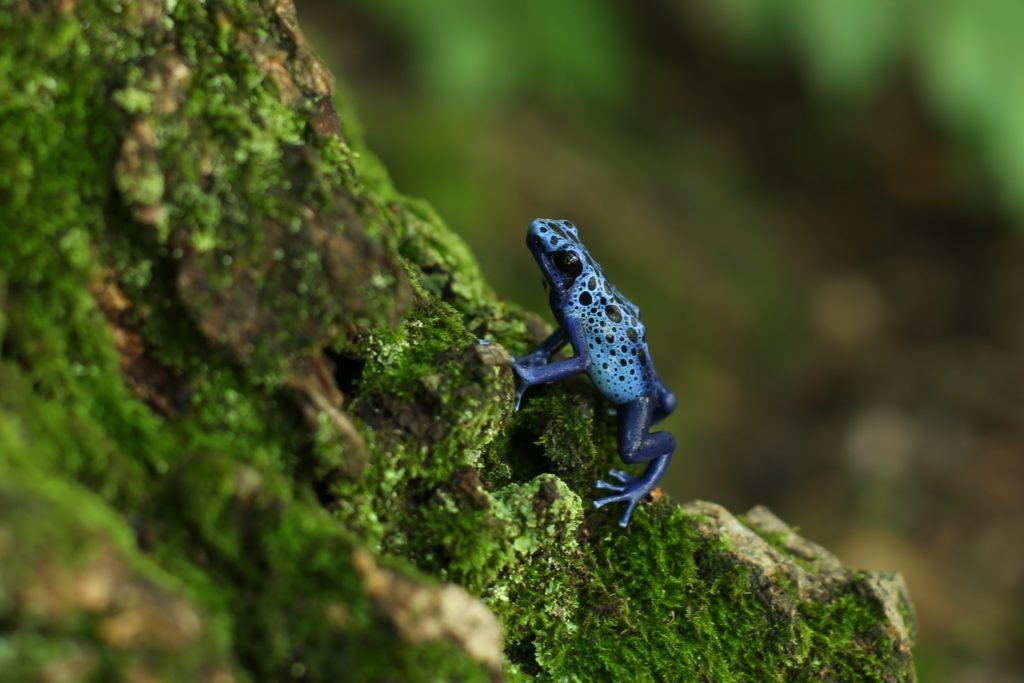 Blue frog on mossy tree
